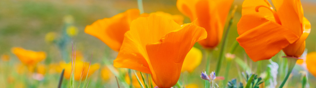 a banner image of some orange poppies in a grassy field